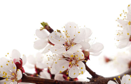 Apricot flower on a branch isolated on a white background. 免版税图像
