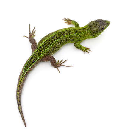 One big green lizard isolated on a white background.