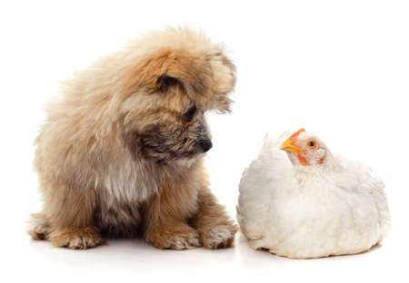 Cute puppy and white chicken isolated on a white background. 免版税图像