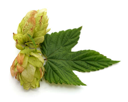 Green fresh hop isolated on a white background.