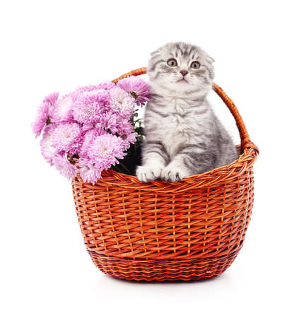 Kitten in a basket with chrysanthemums isolated on a white background.