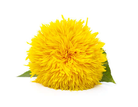 Decorative sunflower flower isolated on a white background.