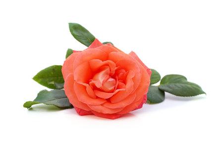One orange rose isolated on a white background.