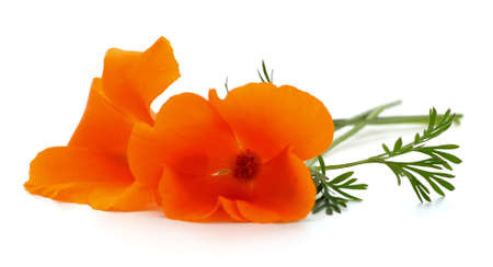 Two orange flowers isolated on a white background.