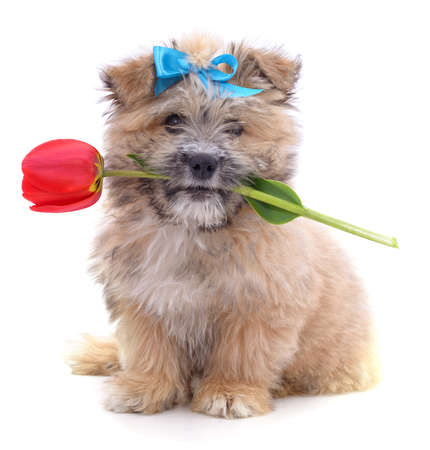 Puppy in a bow and tulip isolated on a white background. 免版税图像