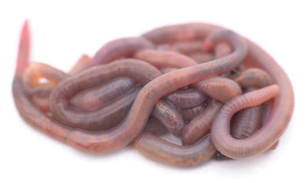 Pile of earthworms isolated on a white background. 免版税图像