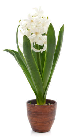 White hyacinth in a pot isolated on a white background.