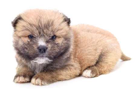Brown beautiful puppy isolated on a white background.