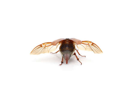 Brown beetle with wings isolated on a white background. 免版税图像