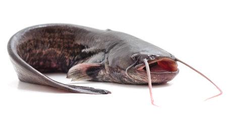 One wild catfish isolated on a white background.