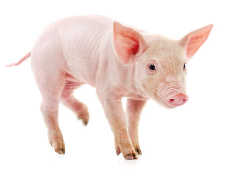 One little pink pig isolated on white background. 免版税图像