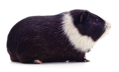 One guinea pig isolated on a white background.