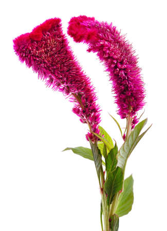 Beautiful bloom of amaranth isolated on a white background.