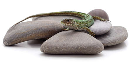 One green lizard on stones isolated on a white background.