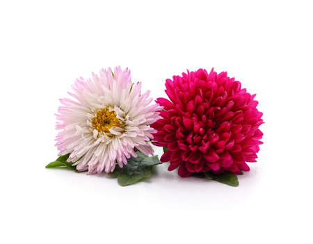 Pink and red chrysanthemum with leaves isolated on a white background.