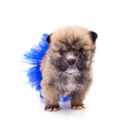 One puppy in a ballerina skirt isolated on a white background.