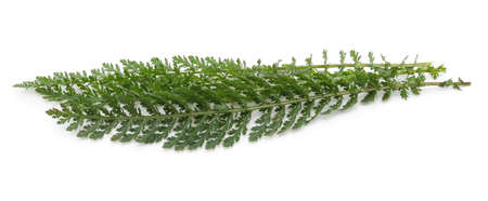 Green leaves of yarrow isolated on white background. 免版税图像