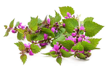 Nettles with purple flowers isolated on a white background.