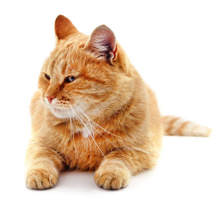 Red beautiful cat isolated on a white background.