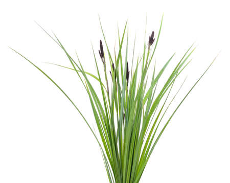Bunch of green sedge with flower isolated on a white background.