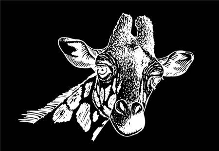 Graphical portrait of giraffe isolated on black background, vector illustration