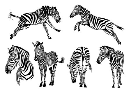 Graphical set of zebras isolated on white background, vector illustration, elements for design