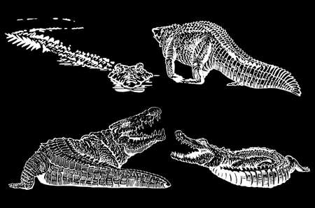Graphical set of crocodiles isolated on black background, vector engraved illustration Vetores