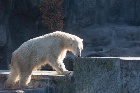 Polar bear in Budapest Zoo