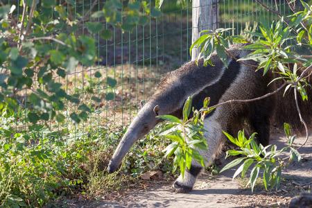 Giant anteater in Budapest Zoo 版權商用圖片