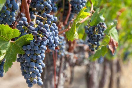 Sunny September day at Tuscany vineyard. Italy