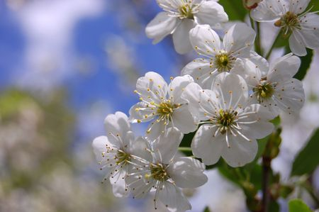 bloom cherry grow spring white photo