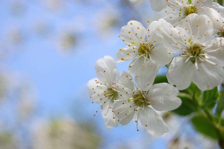 bloom cherry grow spring white photo