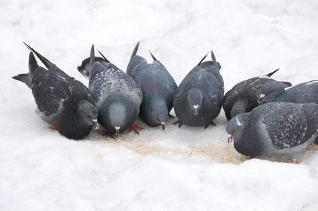 The group of pigeons eats in the winter on snow photo