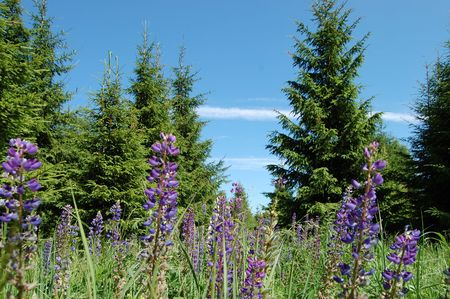 Wild lupines against the sky photo