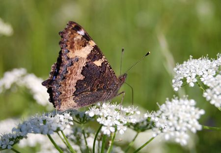 The beautiful butterfly sitting on a white flower photo