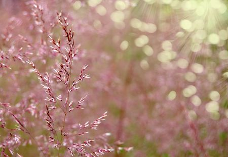 Wild grass against solar beams - a violet background photo