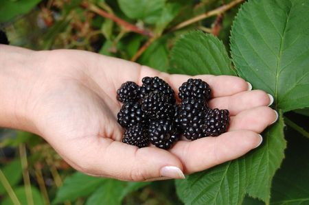 Female hand with a blackberry against green leaves photo