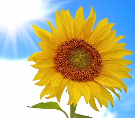Sunflower against the blue sky with cloud photo