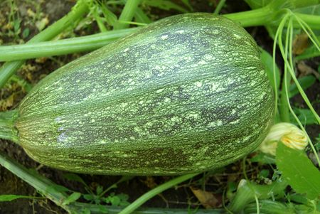 Marrow in vegetable garden with green leaves   photo
