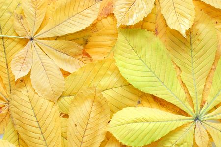 leaves of a chestnut  - nature background Stock Photo