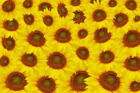 The beautiful Yellow sunflowers As a background photo