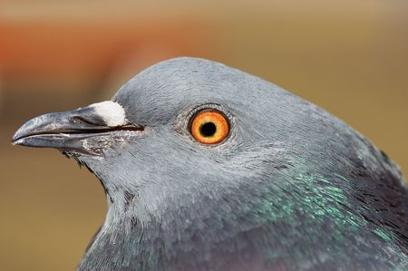 Pigeon head of profile in closeup photo