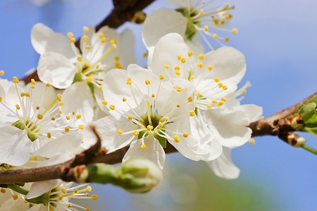 Cherry blossom flowers in spring Stock Photo - 7016440