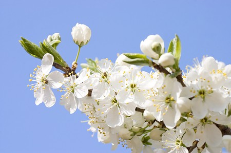 Cherry blossom flowers in spring Stock Photo - 7101445