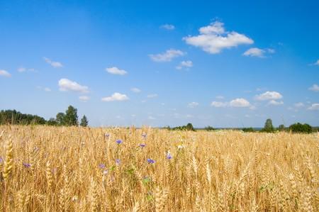 Ripe rye against the blue sky Stock Photo - 7884599