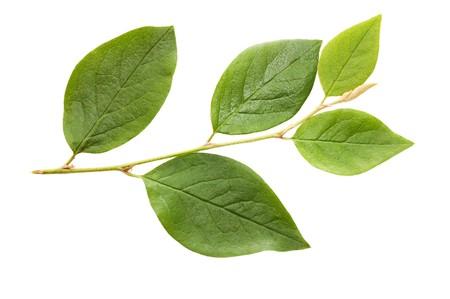 young leaf: Rama aislado en un fondo blanco