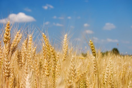 whole wheat: Ripe rye against the blue sky
