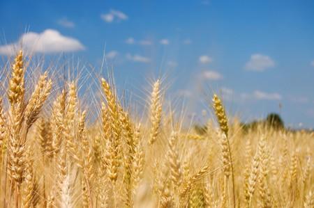 rye: Ripe rye against the blue sky