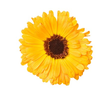 specific: Gerbera flower isolated on white background  Stock Photo
