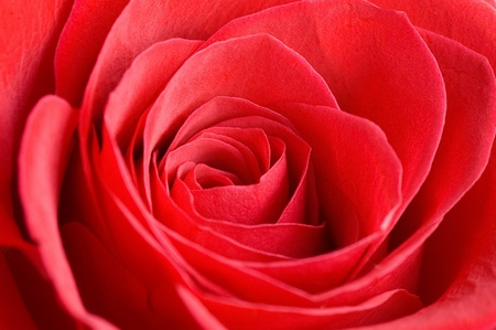 Beautiful red rose as a background photo